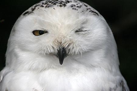 Winking Snowy Owl