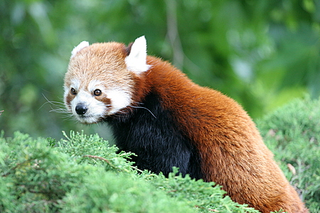 Red Panda at Rotterdam Zoo