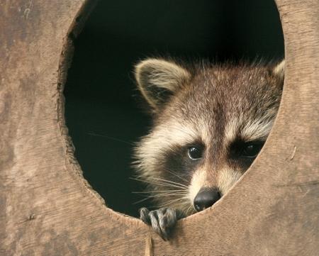 Raccoon In Five Sister's Zoo