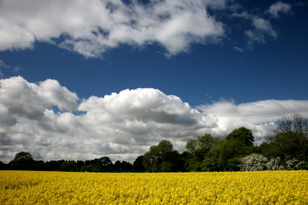 Yellow Rapeseed And Sky
