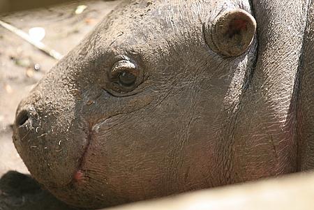 Eve the Baby Pygmy Hippo