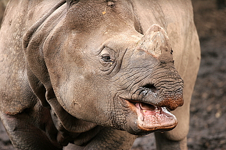 Laughing Rhino