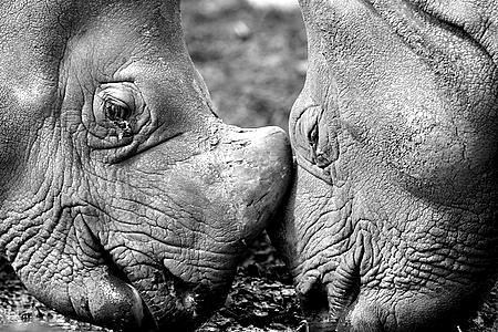 Greater One Horned Rhinoceros