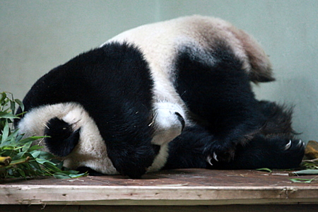 Sleeping Female Giant Panda