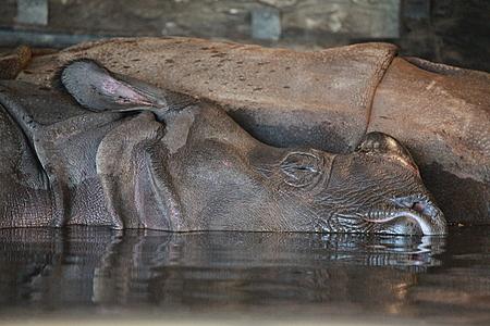 Rhino Sleeping in Water