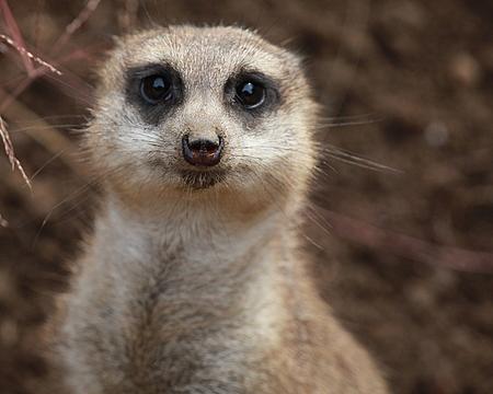 Cute Meerkat Face