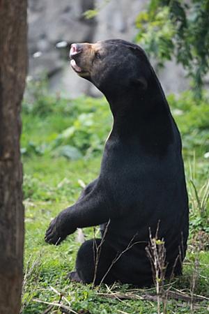 Singing Sun Bear