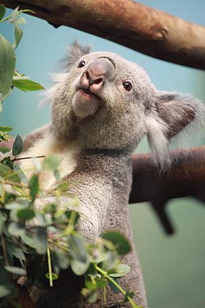 Smiling Koala