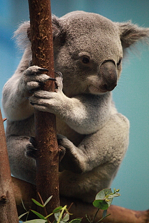 Yabbra the Koala
