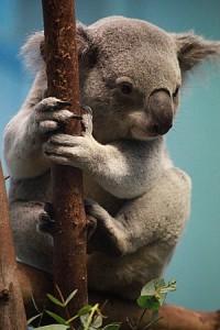 Koala at Edinburgh Zoo