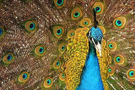Peacock At Five Sister's Zoo
