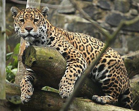 Jaguar Lying