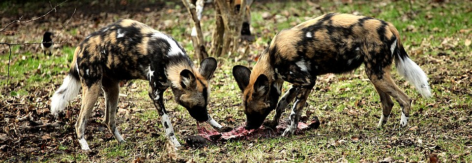 Painted Hunting Dogs Feeding