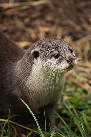 Asiatic Otter