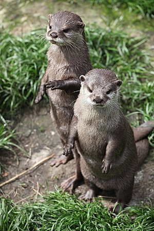 Otters Standing