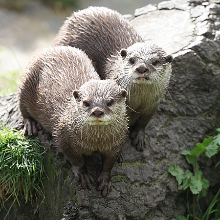 Otters Looking