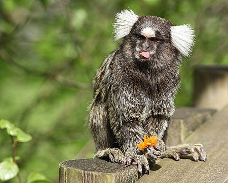 Cheeky Marmoset