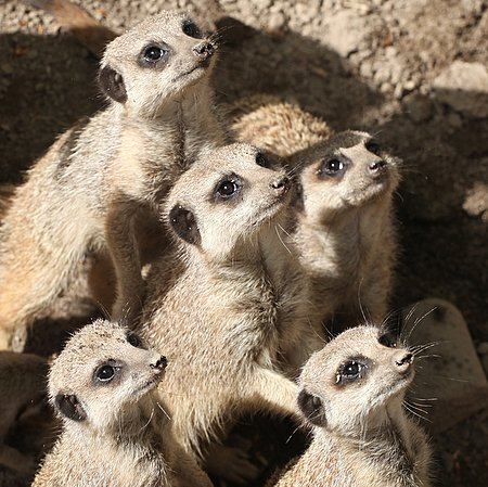 Adoration of the Meerkats