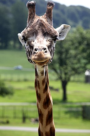 Giraffes Are Funny