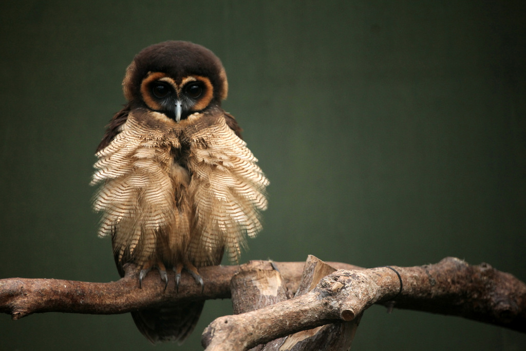 Brown Wood Owl