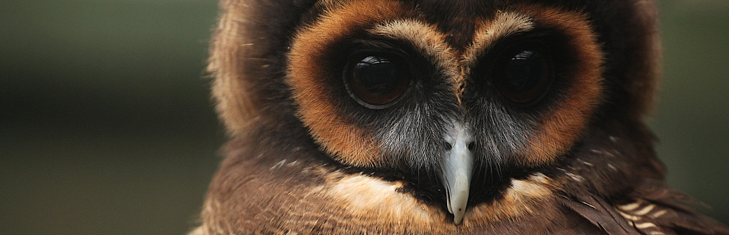 The Owls of the Scottish Owl Centre