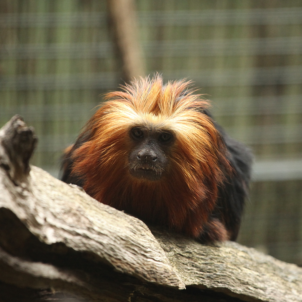 Lion Headed Tamarin