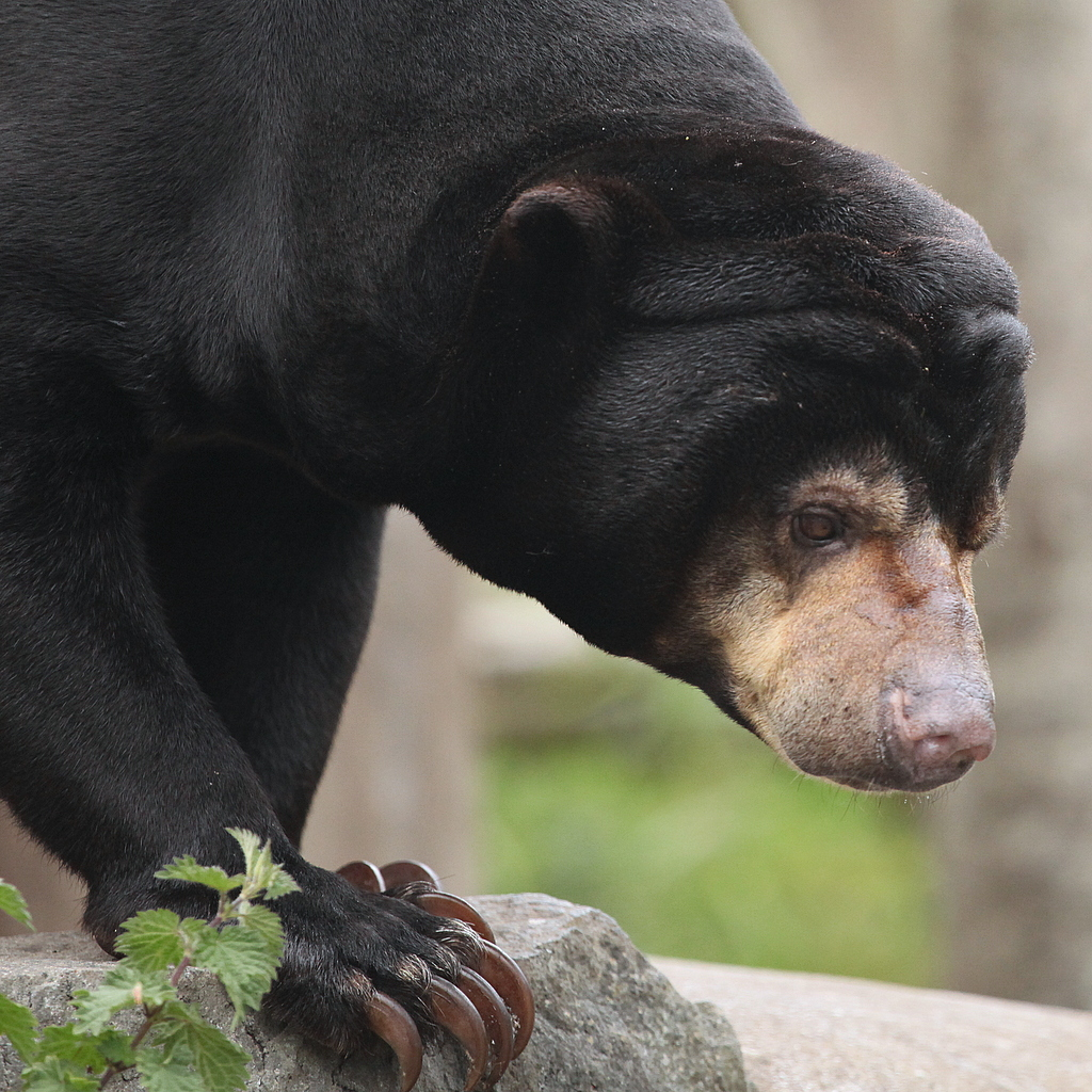 The Sun Bear has very impressive claws