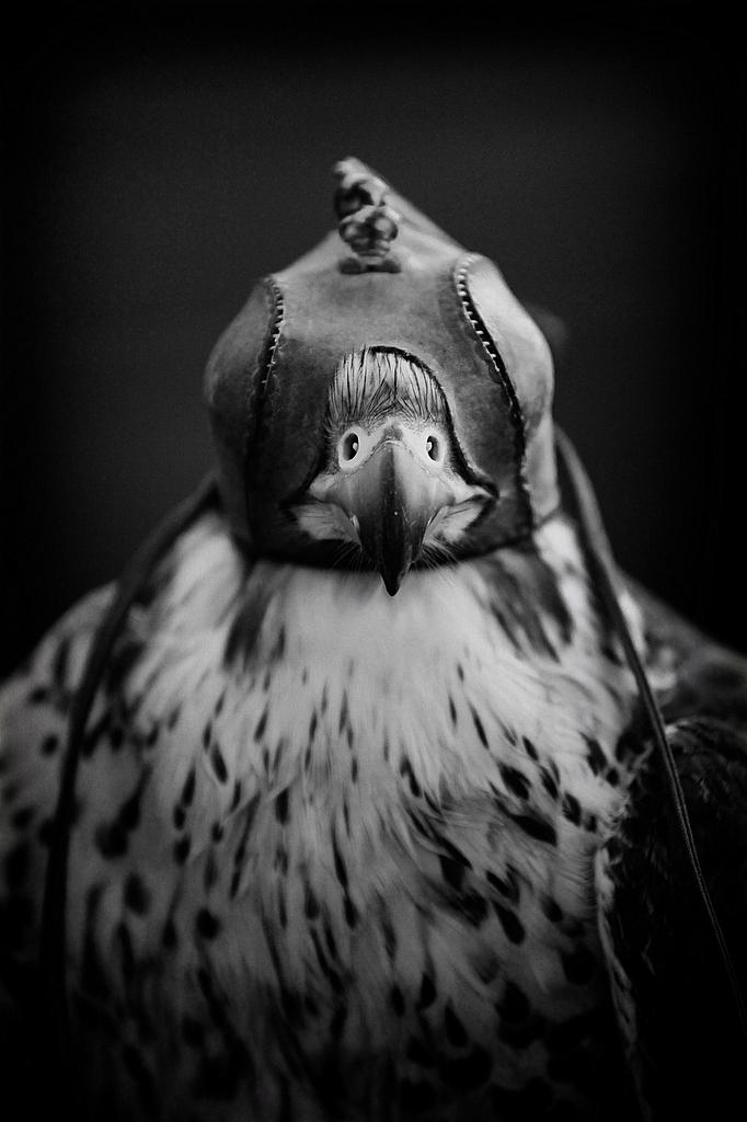 Peregrine Falcon in Hood