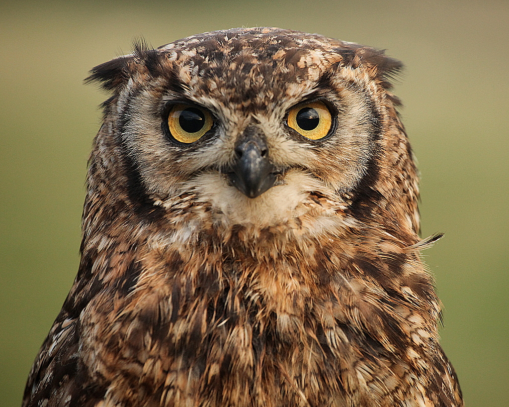 African Speckled Eagle Owl