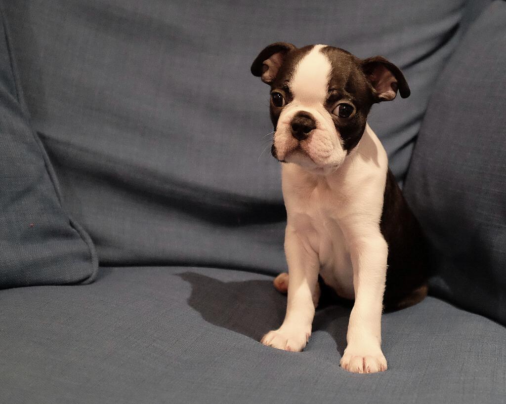Milo the Boston Terrier